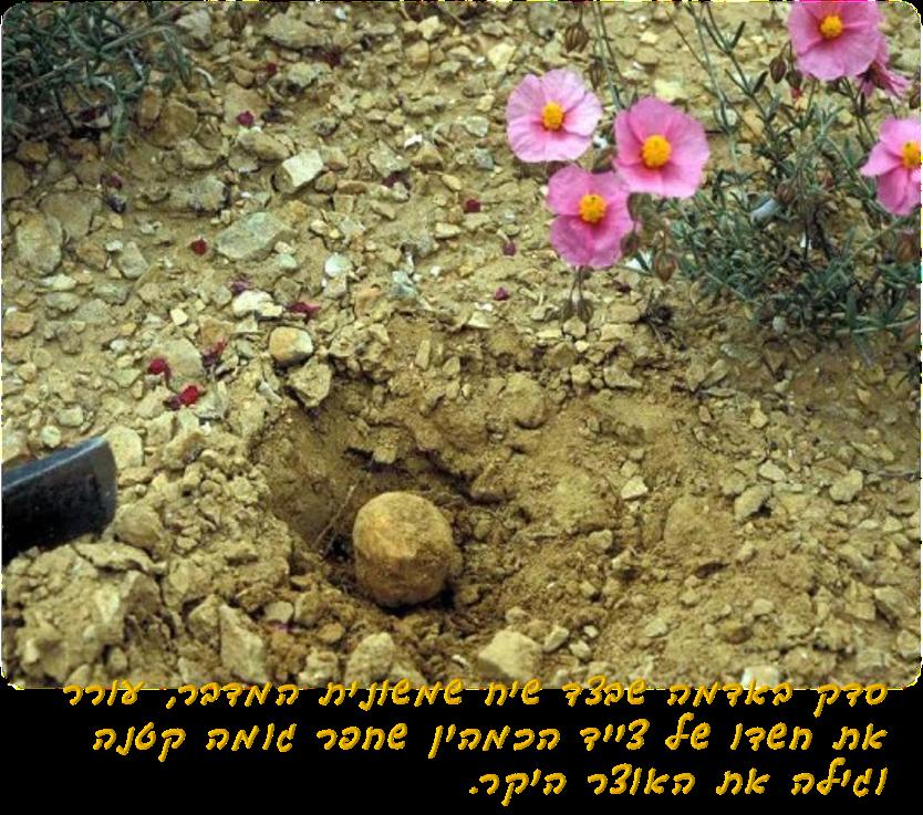שמשונית המדבר והכמהה שבסמוך לו